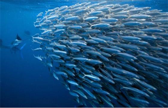 沙丁鱼,作为一种餐桌上的美味,不论用哪种方式烹饪,大概都是吃货朋友的最爱。实际上,不只人类这么喜爱沙丁鱼,海里的动物们碰上沙丁鱼群,也会欢喜的不得了。 沙丁鱼是硬骨鱼纲鲱形目鲱科沙丁鱼属、小沙丁鱼属和拟沙丁鱼属及鲱科某些食用鱼类的统称。也指制成油浸鱼罐头的普通鲱以及其它小型的鲱或鲱状鱼。  在外貌上,沙丁鱼属于细长的银色小鱼,背鳍短且仅有一条,无侧线,头部无鳞;体长约15~30厘米。  在行动上,沙丁鱼们喜欢结伴而行,密集群息。作为近海暖水性鱼类,它们一般不见于外海和大洋,通常栖息于大海中上层,但秋、冬季